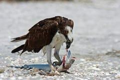 osprey Стоковая Фотография