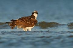 Osprey. Washes it feathers on the shore of Sanibel Island, Florida Royalty Free Stock Photo