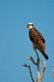Osprey Stock Photo