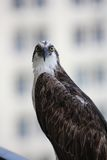 Osprey. A close shot of an osprey looking at the camera Stock Photography