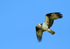 Osprey 3. Osprey Flying Stock Photos