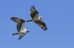 Osprey Στοκ Εικόνα