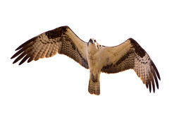 Osprey. In flight hunting prey Stock Image