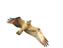 osprey στοκ φωτογραφίες