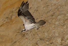 osprey Stockfotos