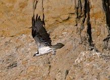 osprey Lizenzfreie Stockfotografie