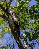 osprey Imagenes de archivo