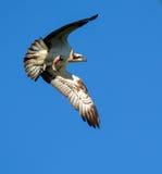 osprey Stock Foto