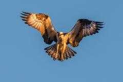 osprey Royalty-vrije Stock Afbeeldingen