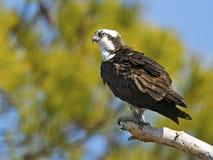osprey Στοκ Εικόνες