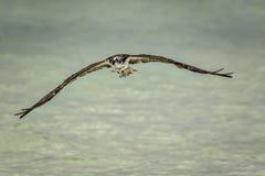 osprey Images libres de droits