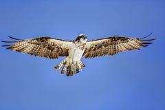 osprey Royalty-vrije Stock Foto's