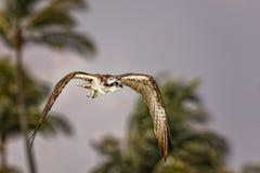 osprey Stock Afbeeldingen