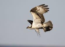 osprey Royalty-vrije Stock Fotografie