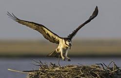 osprey Stock Afbeelding