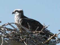 Osprey Fotos de archivo libres de regalías