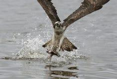 osprey Fotos de Stock Royalty Free