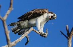 osprey Fotografia Stock Libera da Diritti