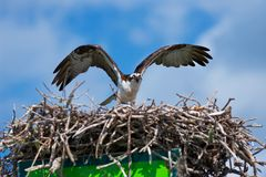 Osprey Photos stock
