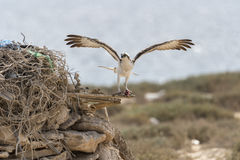 osprey Στοκ εικόνες με δικαίωμα ελεύθερης χρήσης