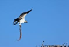 osprey Fotografie Stock