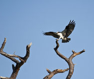Osprey. The osprey (pandion haliaetus) is sometimes referred to as the fish hawk or fish eagle stock images