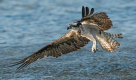osprey fotos de stock royalty free