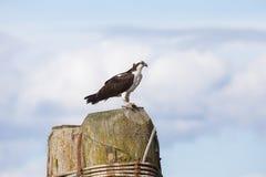 osprey Lizenzfreie Stockbilder