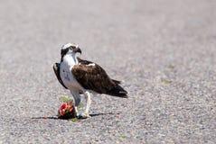 osprey stock fotografie