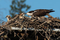 Osprey adult feeds fish to its newly hatched chick in the nest w Royalty Free Stock Images