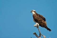 Osprey adulte Photographie stock