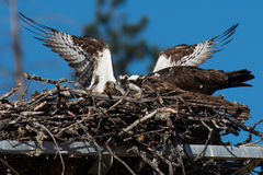 Osprey adults tend to thier newly hatched chick in the nest. Stock Photos