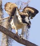 Osprey agitado en la reserva de la barra del círculo B imágenes de archivo libres de regalías