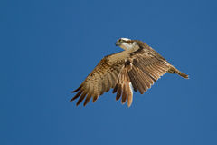 Osprey in the air Stock Photography