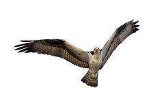 Osprey aislado Fotos de archivo