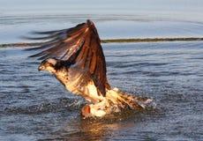 Osprey And Bass Tug-o-war!!! Royalty Free Stock Photo