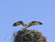 Osprey arrivng at nest Stock Photography