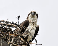 Osprey At Attention Stock Image