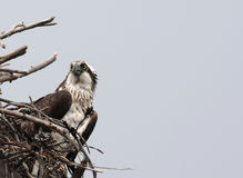 Osprey At Attention. Shot in Montana on the Madison River Stock Photography