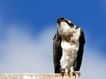 Osprey At Attention Royalty Free Stock Image