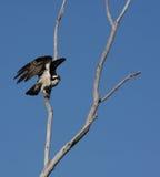 Osprey auf dem Zweig betriebsbereit sich zu entfernen Stockfotografie