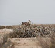 Osprey auf einem Nest Stockfoto