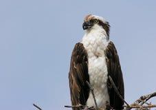 Osprey auf einem Nest lizenzfreie stockfotos