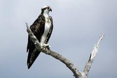 Osprey auf Stange Stockfotos