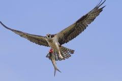 Osprey avec attrapé. Photo libre de droits