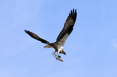 Osprey avec des poissons photo stock