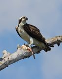 Osprey avec des poissons. Photo stock