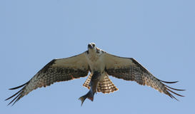 Osprey avec des poissons Images stock