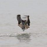 Osprey avec des poissons Image libre de droits