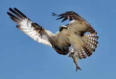 Osprey avec des poissons Photos libres de droits